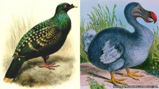 Spotted Green Pigeon and Dodo