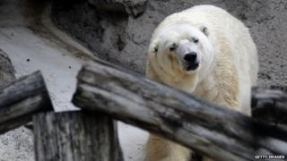Arturo the polar bear appeared in Mendoza, Argentina, on 5 February 2014