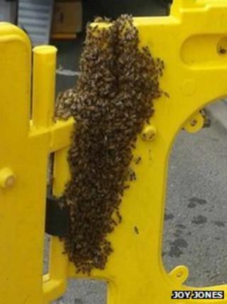 Swarm of bees in Newtown, Powys