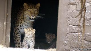 Two Amur leopard cubs and their mother