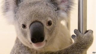 Timberwolf the koala receiving treatment at Australia Zoo