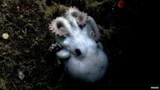 Deep-sea octopus
