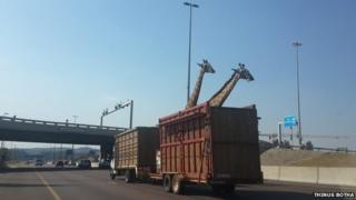 Two giraffes on the Johannesburg N1 highway
