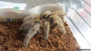 Incy the tarantula