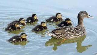 A duck with ducklings on a pond