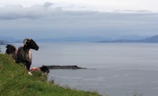 Sheep on Achill Island