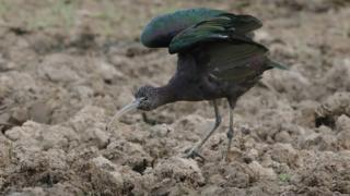 Glossy ibis stretching wings