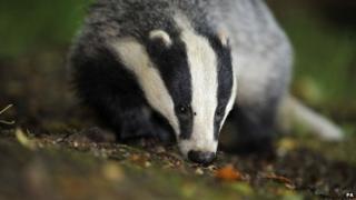 Badger walking in undergrowth