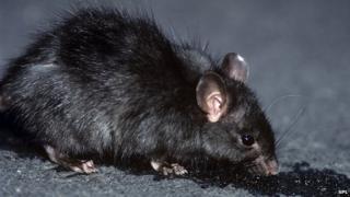 Black rat (Image: Science Photo Library)