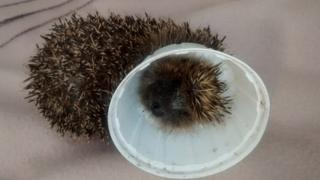 Hedgehog trapped in a plastic lid