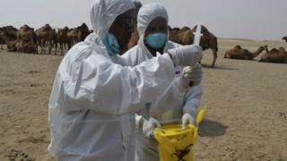 Scientists testing camels