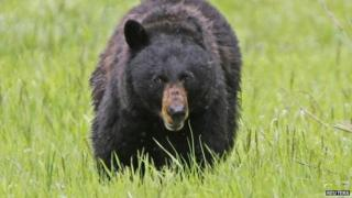 A black bear in Yellowstone Park, Wyoming