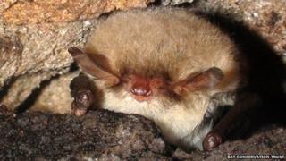Natterer's bat hibernating in crevice