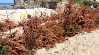 Christmas tree buried at Porthtowan