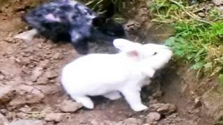 Percy the white lion-headed rabbit