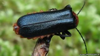 A Blue Soldier Beetle