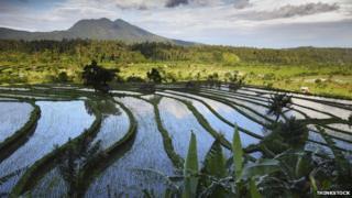 Paddy fields in Bali