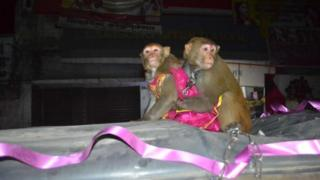 Monkey wedding in Bihar