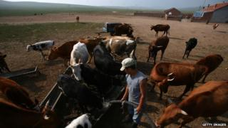 A herdsman feeds his cows in Inner Mongolia
