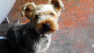 Herbie, the Yorkshire terrier cross