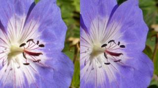 Two photos of the same flower