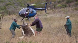 Guards capture rhino after the killing of its partner by poachers, South Africa