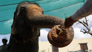 The 52-year-old elephant receives a banana during her farewell ceremony (25 November 2014)