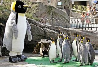 Emperor penguins in a Japanese zoo watch a man in a penguin suit