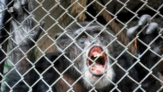 Chimpanzee Tommy. Photo: October 2014