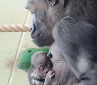 Mjukuu gorilla and baby