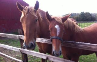 Suffolk punch and foal at Easton