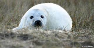 Seal pup at Blakeney Point