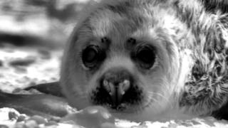 Seal pup on Blakeney Point filmed using a thermal camera