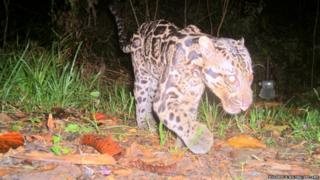 The Sunda clouded leopard Neofelis diardi photographed in the Deramakot Forest Reserve in Sabah Malaysian Borneo
