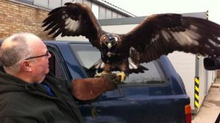 Norman the golden eagle
