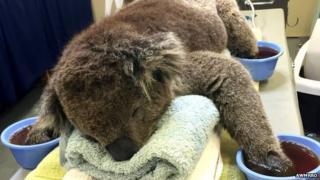 Injured koala receives treatment