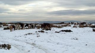 Horses fly-grazing