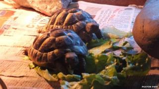Teo and Taylor, the tortoises
