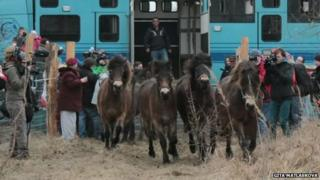 Ponies released in the Czech Republic