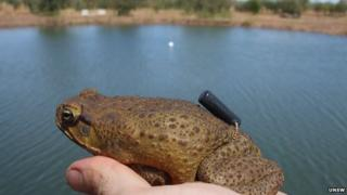 Cane toad fitted with a tracking device