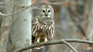 A picture of a barred owl
