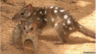 The endangered northern quoll, a mammal species native to Australia.