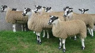 A photograph of some of the stolen sheep