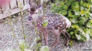 Bambi the deer fawn