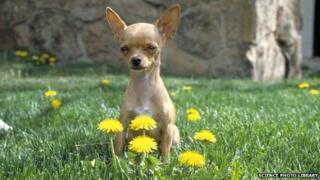 A Chihuahua