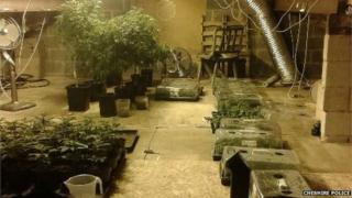 Cannabis plants found in Mill Lane, Little Budworth
