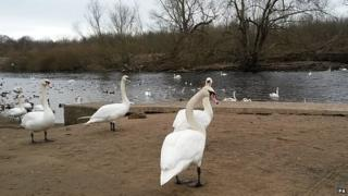 Chester-le-Street swans