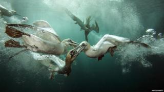 Gannets underwater by Matt Doggett