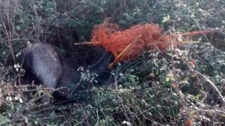 Stag tangled in electric fencing
