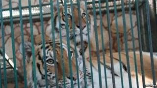 Tigers can be seen in a cage at the Club de los Animalitos on 18 February 2015